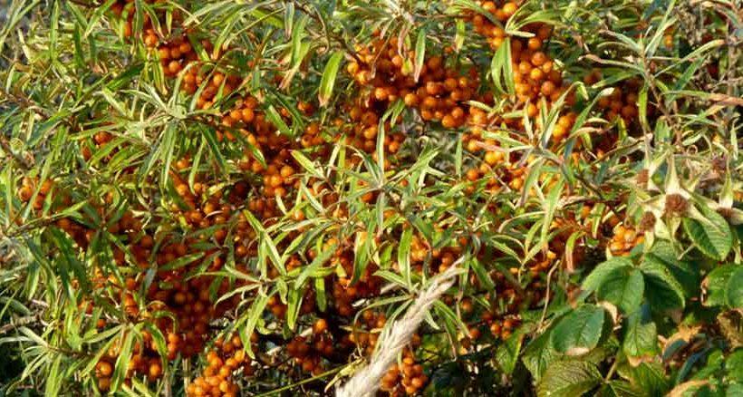 Ein beliebtes Mitbringsel von Juist sind Liköre, Konfitüren oder Tee aus Sanddorn.