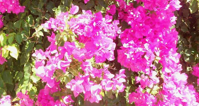 Blütenpracht in Pythagorion