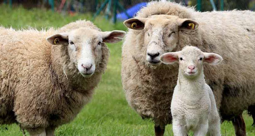 Auf Texel gibt es um die 14.000 Schafe. Ähnlich hoch ist die Einwohnerzahl.